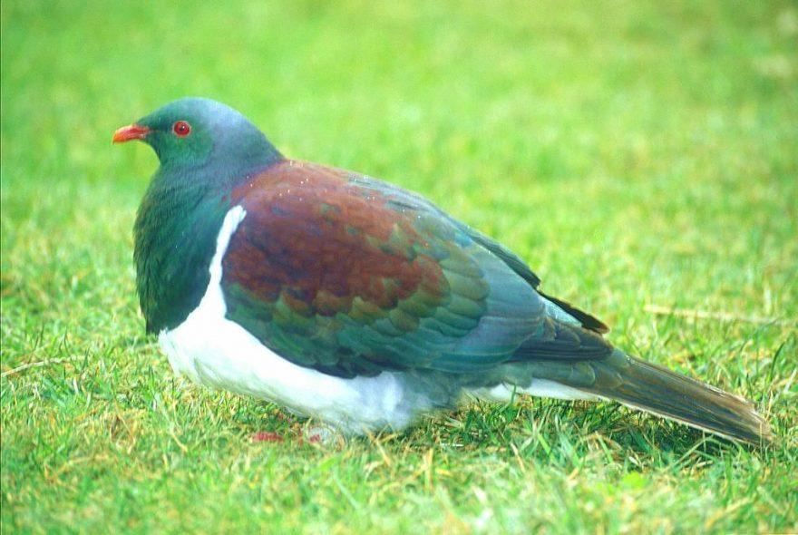 Další člen NZ ptačí říše - New Zealand Pigeon, zástupce holubů. Maorsky Kereru, nebo Kukupa, případně Parea, nebo také Woodpigeo