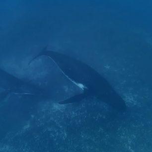 Velryby si hrají