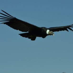 Kondora v Peru potkáte velmi často